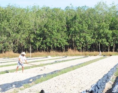 Nông dân xã Thạnh Tân, thành phố Tây Ninh phơi xác mì làm thức ăn cho gia súc.