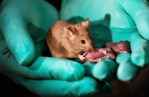 Chuột con được sinh ra khỏe mạnh từ hai chuột mẹ. Ảnh: BBCNews