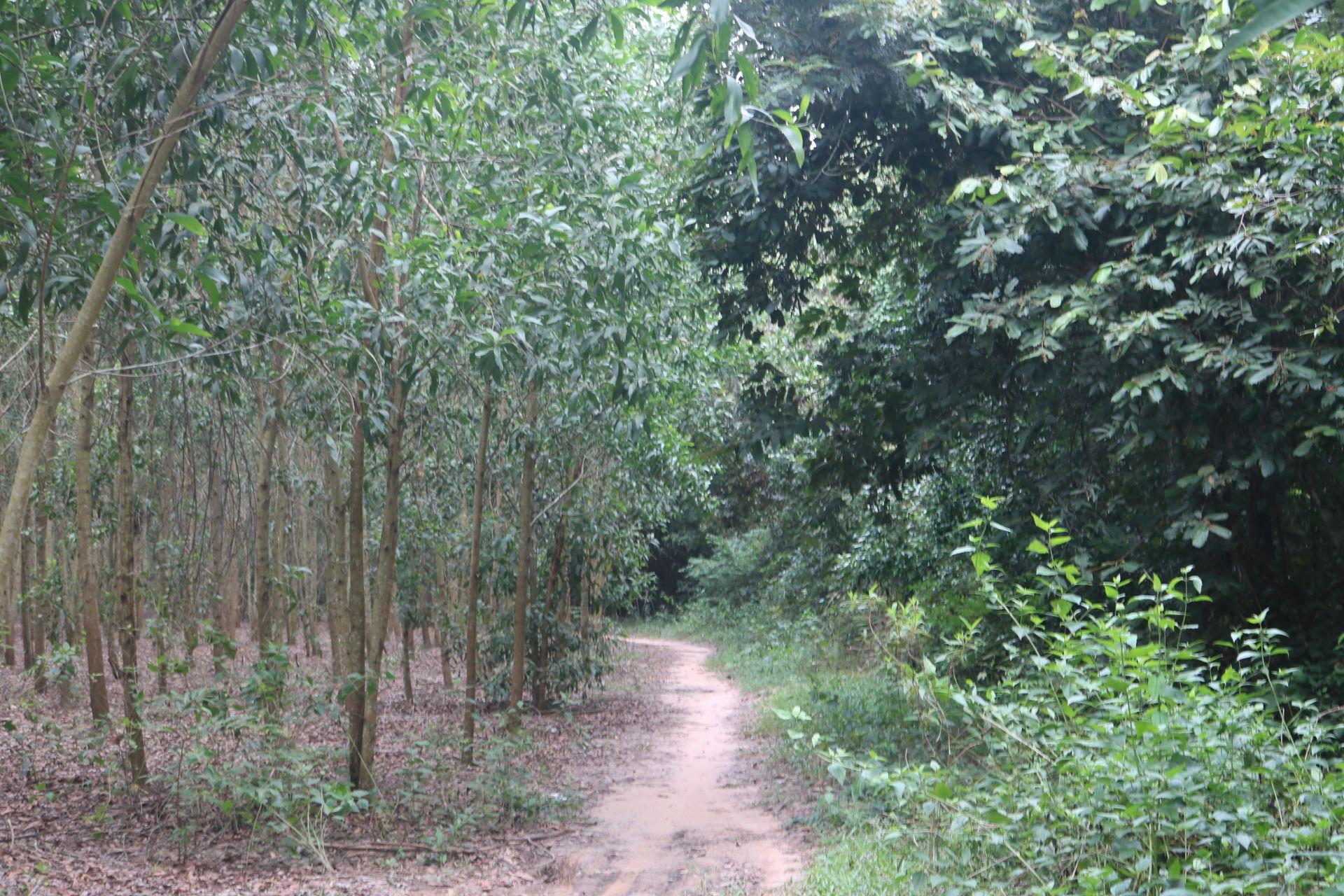 Rừng sản xuất ở xã hòa hội huyện Châu Thành