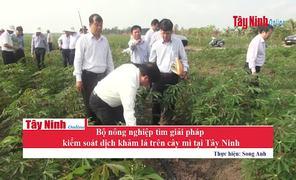 Bộ NN&PTNN tìm giải pháp kiểm soát dịch khảm lá trên cây mì tại Tây Ninh