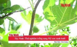 Tây Ninh: Thử nghiệm trồng sung Mỹ xen canh bưởi