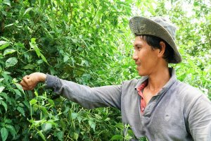 Trồng ớt xiêm rừng xen canh bưởi, thu 20 triệu đồng mỗi tháng