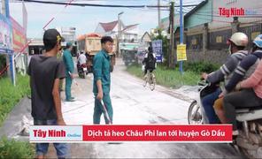 Dịch tả heo Châu Phi lan tới huyện Gò Dầu