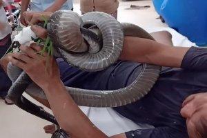 Cẩn trọng khi sơ cứu nạn nhân, giúp giảm tỷ lệ tử vong khi bị rắn độc cắn