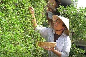 Vườn thuốc nam với hơn 300 loại dược liệu quý hiếm