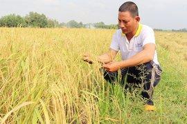 Thử nghiệm bước đầu thành công giống lúa ST25 tại Tây Ninh