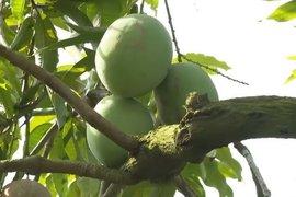 Độc đáo mô hình trồng xoài trong nhà lưới tại xã Phan