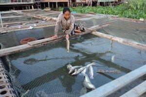 Cảnh báo bất lợi về môi trường đối với nuôi cá lồng, bè trên sông Vàm Cỏ Đông
