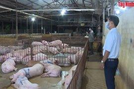 Sở Nông nghiệp và Phát triển nông thôn kiểm tra đột xuất 2 cơ sở giết mổ heo tại Châu Thành, Hoà Thành