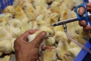 Thực hiện công tác phòng, chống dịch bệnh động vật trong bối cảnh dịch bệnh COVID-19