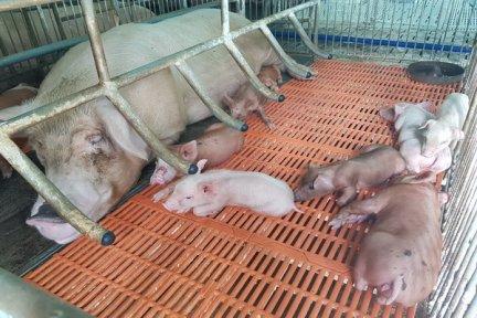 Chủ động áp dụng các biện pháp an toàn sinh học, phòng chống dịch bệnh trong chăn nuôi