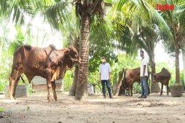 Bệnh viêm da nổi cục trên trâu, bò: Cần điều trị theo đúng phác đồ của ngành thú y
