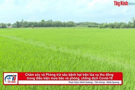 Chăm sóc, phòng trừ sâu bệnh hại trên lúa vụ Thu Đông trong điều kiện mưa bão và dịch bệnh Covid-19