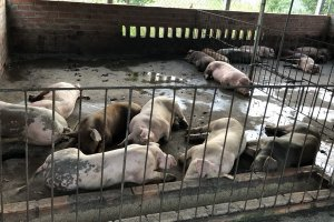 Khẩn trương thực hiện các giải pháp phòng, chống bệnh dịch tả lợn Châu Phi