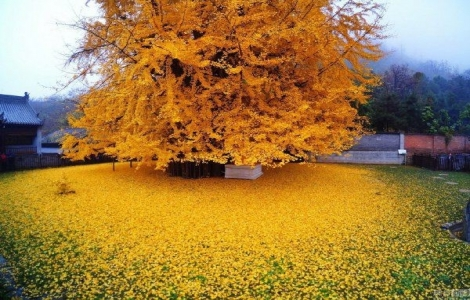 Những hàng cây ngân hạnh nhuộm thu vàng rực rỡ