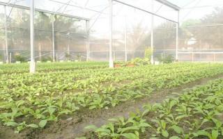 Nhà kính trồng rau- muốn, mà không dám