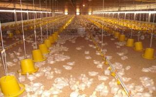 Xây dựng thí điểm vùng, cơ sở an toàn dịch bệnh đối với gà hướng tới xuất khẩu