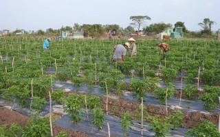Bến Cầu: Diện tích trồng ớt tăng