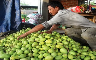 Nông dân xã Thạnh Bắc đầu tư trồng xoài tứ quý