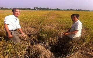 Xuất hiện rầy nâu phá hại lúa tại xã Bàu Năng