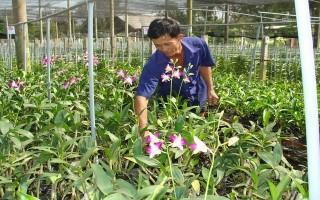 Trảng Bàng: Nhiều nông dân đầu tư trồng lan cắt cành