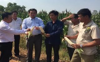 Châu Thành: Tổ chức hội thảo về giống bắp nếp lai