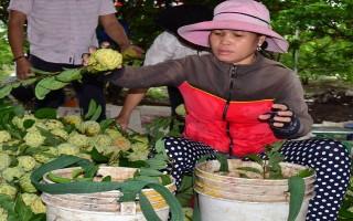 """""""Mong manh"""" hợp đồng liên kết thu mua nông sản"""