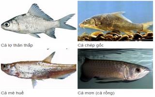 6 loài cá Việt Nam tuyệt chủng ngoài thiên nhiên
