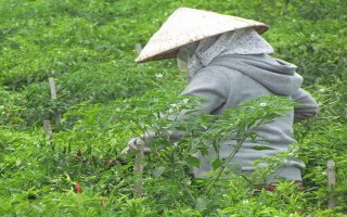 Bến Cầu: Diện tích trồng ớt tăng cao