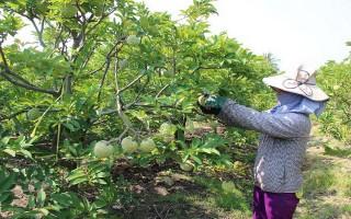 Nâng cao giá trị trái mãng cầu Bà Đen bằng quy trình sản xuất VietGap