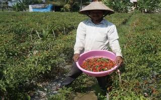Châu Thành: Ớt xuống giá, nông dân hoang mang