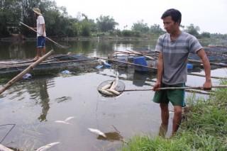 Cá nuôi lồng trên sông Bồ chết trắng lồng