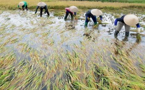 Gặt lúa chạy lũ