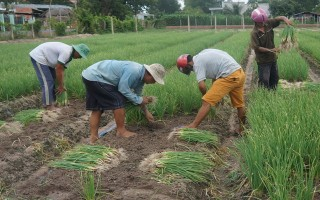Mưa trái mùa, nhiều hộ nông dân khó trả nợ vay ngân hàng