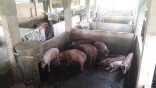 Trại heo ở xã Gia Lộc tiếp tục gây ô nhiễm