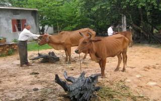 Tân Biên: Tiêm vắc xin phòng chống dịch bệnh cho đàn gia súc, gia cầm