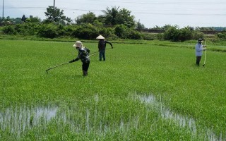 Dự kiến triển khai đầu tư khu sản xuất lúa giống cấp nguyên chủng
