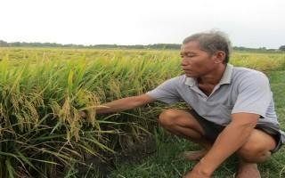Sản xuất lúa theo hướng VietGAP mang lại hiệu quả kinh tế cao