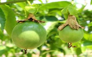 Nhiều nông dân bắt đầu trồng chanh dây
