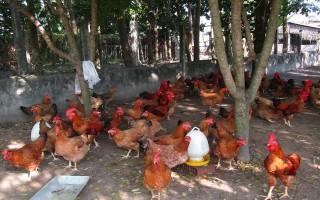 Phát triển chăn nuôi gà ta theo hướng nâng cao hiệu quả