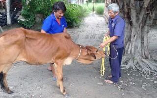 Trao bò giống cho hộ nghèo ở xã Chà Là