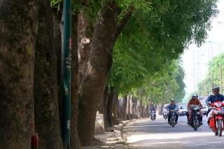 Hà Nội không thay thế 4.000 cây xà cừ