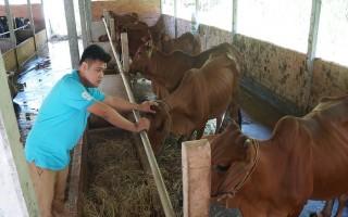 Nâng cao chất lượng heo và bò giống