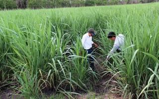 Tây Ninh: Diện tích trồng mía tăng gần 4.000 ha