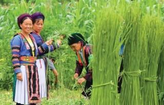 Cây lanh- biểu tượng văn hoá người Mông