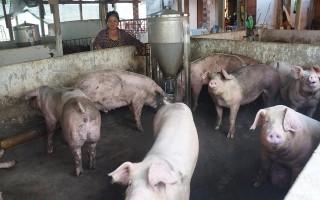 Giá heo hơi vẫn thấp, người chăn nuôi heo tự giải cứu