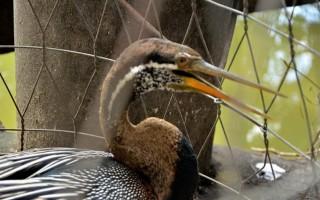 Bắt được chim cổ rắn cực kì quý hiếm tại TPHCM