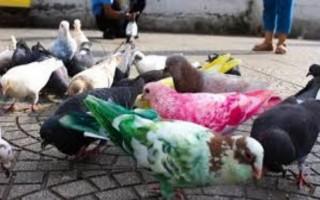 Sơn màu cho chim bồ câu ở TP.HCM: Nên hay không?