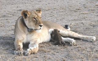 Các nhà bảo tồn kinh ngạc khi thấy sư tử cái cho báo con bú
