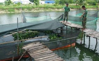 Sư đoàn 5: Phát triển mô hình nuôi cá lóc bè và nuôi ếch